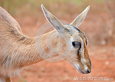 Cute Baby Antelope Head Closeup