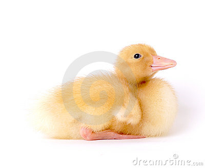 Cute Baby Duck