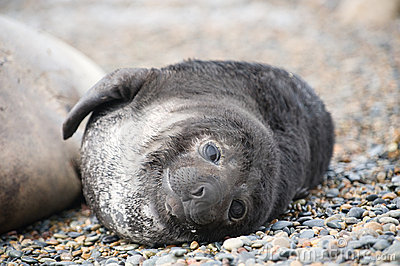 Cute baby elephant seal, Valdes Peninsula