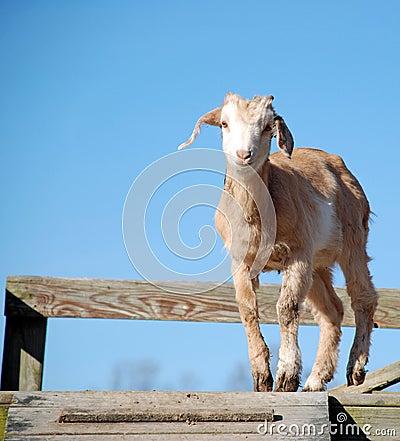 Cute Baby Goat Kid