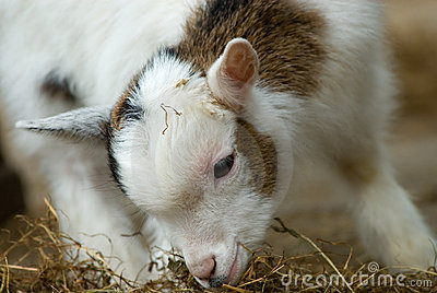 Cute baby goat in spring
