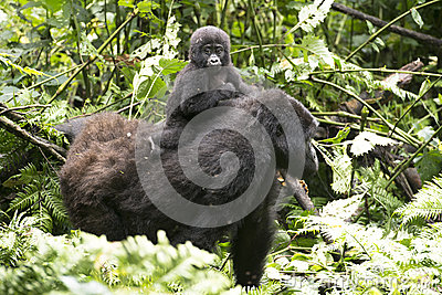 Baby gorilla on mums back