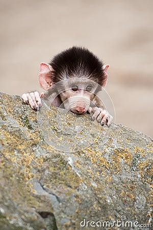 Free Cute Baby Hamadryas Baboon Stock Image - 8383801
