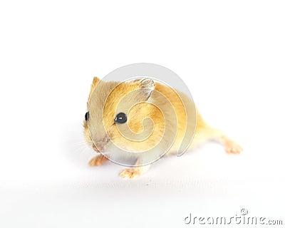Cute Baby Hamster