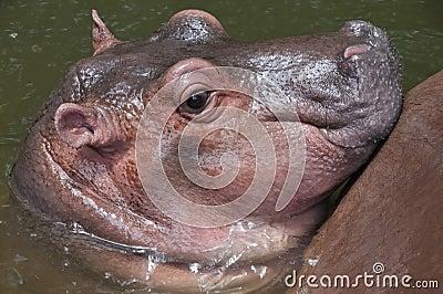 A cute baby hippo.