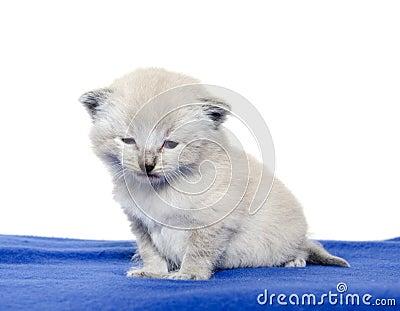 Cute baby kitten on blue blanket
