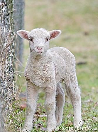 adult lamb