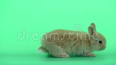 Cute baby light brown bunny rabbit move from left to right side on green  screen background