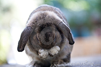 Cute baby lop rabbit bunny