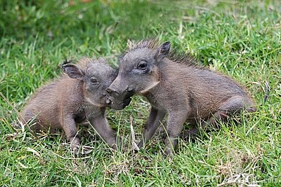 Marketplace:Pets! Cute-baby-warthogs-11789341