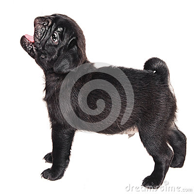 Cute barking black pug puppy