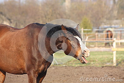Cute bay horse yawning