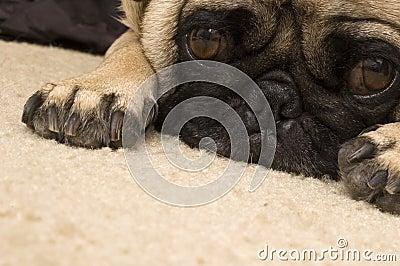 Cute Beagle Laying Down