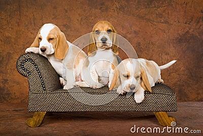 Cute Beagle puppies on sofa