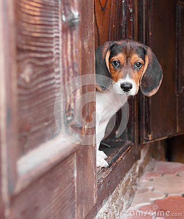 Cute Beagle puppy sitting on doorstep