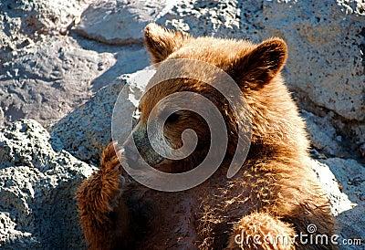 Cute bear cub licking his paw