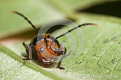 Cute Beetle face