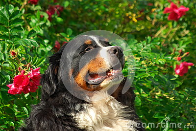 Cute Bernese Mountain Dog