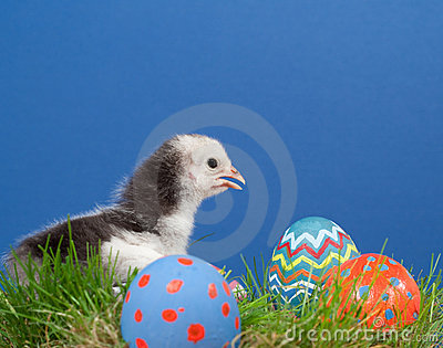 Cute bicolored Easter chick in grass