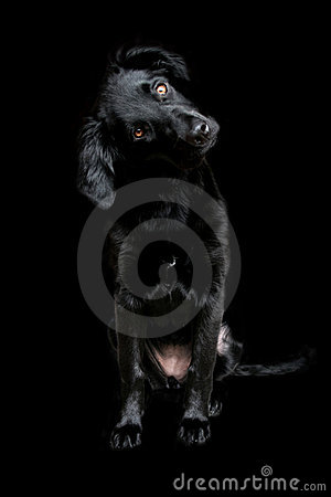 Free Cute Black Dog Face Wallpaper On A Dark Background Royalty Free Stock Photography - 6184197