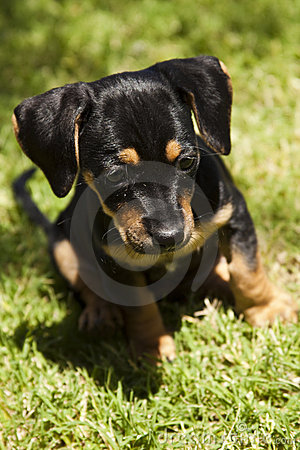 Cute black and tan puppy with flopp ears