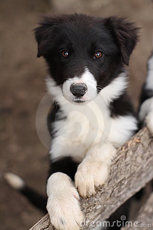 Cute Black And White Puppy Dog Stock Photos Image 20107073