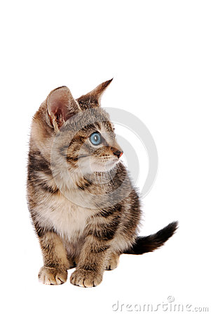 Cute Blue Eyed Tabby Kitten
