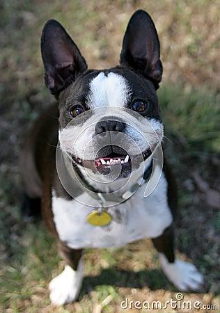 Free Cute Boston Terrier Stock Image - 4312731