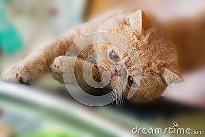 Cute British CPA cat scratching