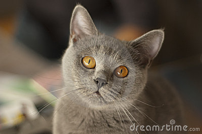 Cute british shorthair cat staring at the camera