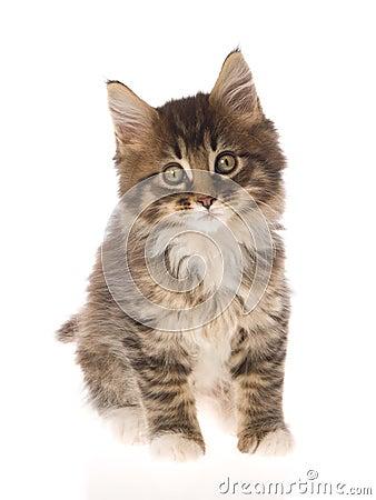 Cute brown Maine Coon kitten on white bg