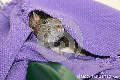 Cute brown rat hiding under blanket