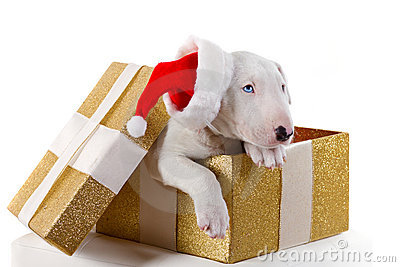 Cute bullterrier puppy in Christmas gift box