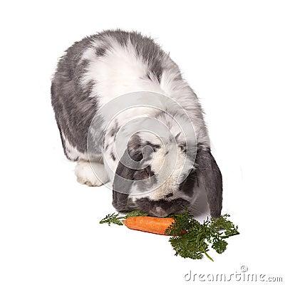 Cute Bunny Rabbit Bending Down to eat Carrot