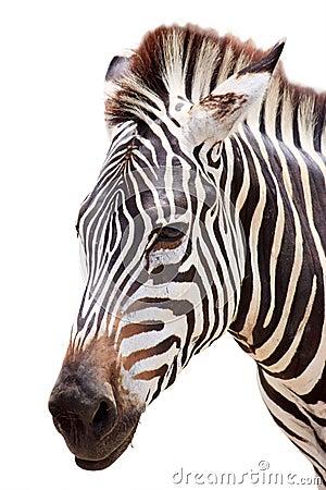 Free Cute Burchell Zebra Head On White Stock Photos - 14420433