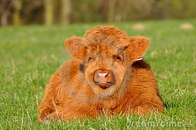 Cute calf of highland cattle