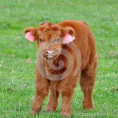 Cute calf of highland cattle