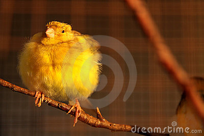 Cute canary bird