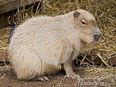 Cute capybara rodent
