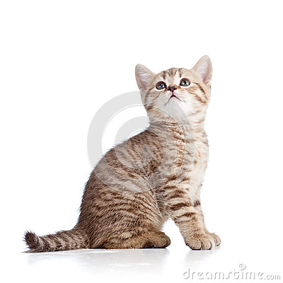 Cute cat kitten looking up on white background
