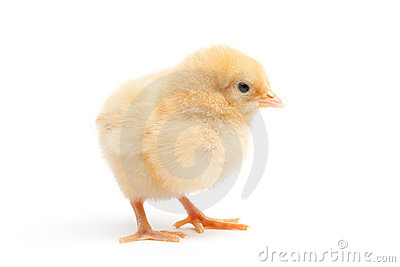 Cute chick isolated on white