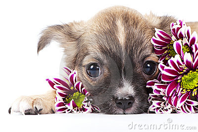 Cute chihuahua puppy among chrysanthemums flowers