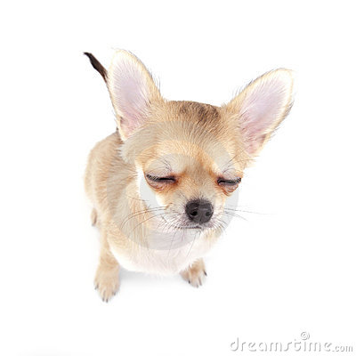 Cute chihuahua puppy with closed eyes