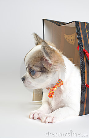 Cute chihuahua puppy in gift bag