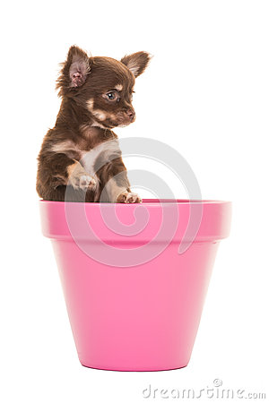 Free Cute Chihuahua Puppy In A Pink Flower Pot Stock Images - 58892024