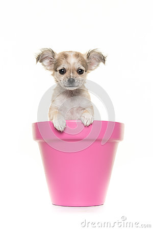 Free Cute Chihuahua Puppy In A Pink Flower Pot Stock Photography - 83421262
