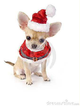 Free Cute Chihuahua Puppy With Santa Costume Stock Images - 12103334