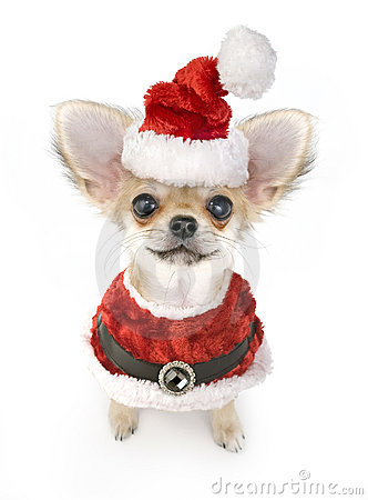 Free Cute Chihuahua Puppy With Santa Costume Isolated Royalty Free Stock Photography - 12103367