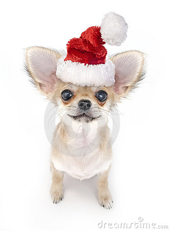 Free Cute Chihuahua Puppy With Santa Hat Stock Photo - 12103300