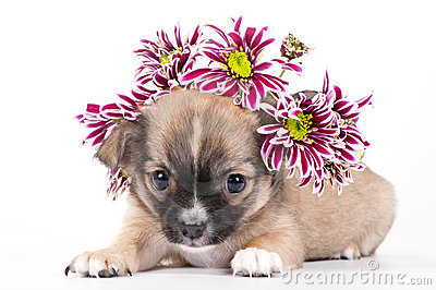 Ένα  Chihuahua για τον Μιχάλη...